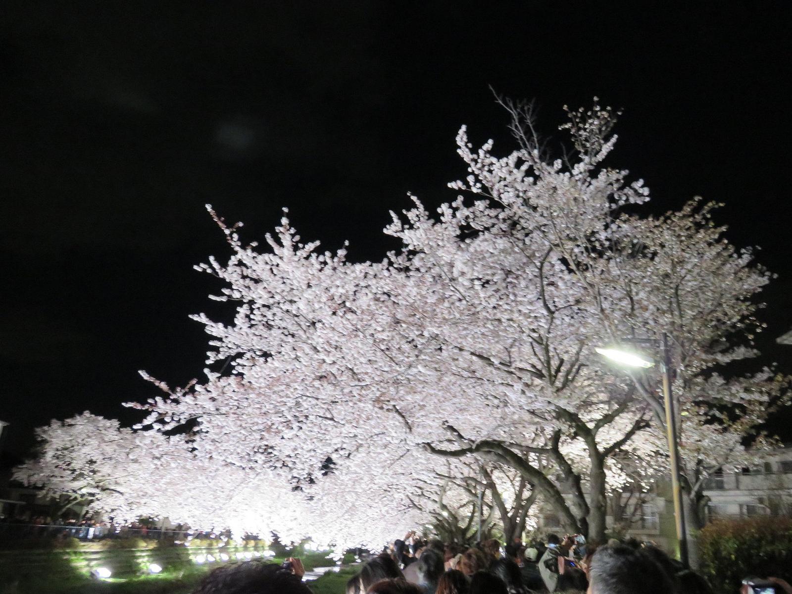 野川の桜ライトアップ(桜の木の写真)